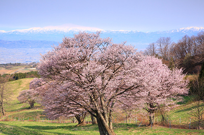 Cherry tree and mountain