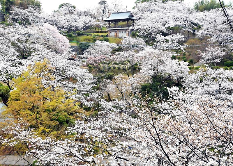 桜_8-02九州_菊池公園2