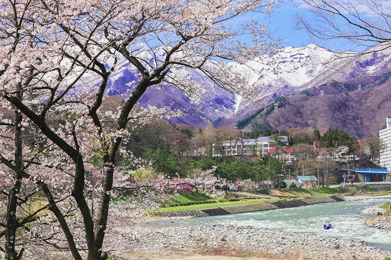 桜_3-02水上_諏訪峡付近p