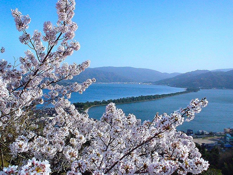 桜_5-03海の京都提供_天橋立昇龍観