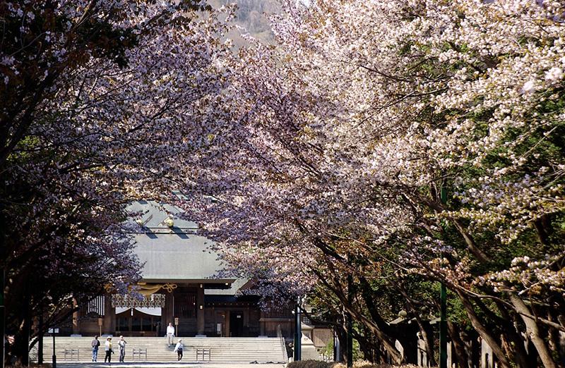 桜_1-01札幌_北海道神宮-2