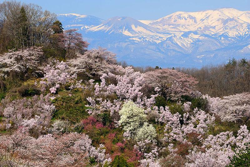 桜_2-07福島県提供_花見山